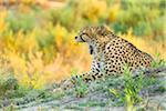 Cheetah (Acinonyx jubatus) lying on the ground yawning at the Okavango Delta in Botswana, Africa
