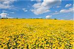 Field of Dyer's chamomile (Anthemis tinctoria) in summer at Guentersleben in Bavaria, Germany