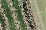 Close-up of thorns of the cardon cactus (Pachycereus Pringlei) in the Botanical Gardens, Mexico