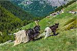 Blackneck goats grazing on the mountainside of the Pennine Alps near Zermatt, Switzerland