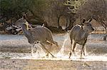 Two greater kudu females (Tragelaphus strepsiceros), running from waterhole at sunrise, Kalahari, Botswana, Africa