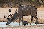 Greater kudu (Tragelaphus strepsiceros), drinking at waterhole, Kalahari, Botswana, Africa