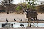 A male Greater kudu (Tragelaphus strepsiceros) and helmeted guineafowl (Numida meleagris), at waterhole, Kalahari, Botswana, Africa