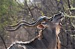 Portrait of male Greater kudu (Tragelaphus strepsiceros), Kalahari, Botswana, Africa