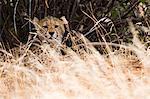 Portrait of a Cheetah cub (Acinonyx jubatus), Samburu National Reserve, Kenya, Africa