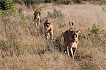 Lion pride (Panthera leo), Savute Channel, Linyanti, Botswana