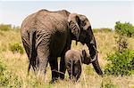 African Elephant and cub (Loxodonta africana), Masai Mara National Reserve, Kenya