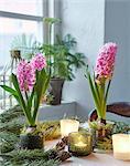 Flowering hyacinths in pots