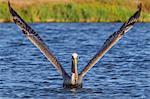 Brown pelican, Pelecanus occidentalis, adult