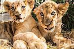 Close-up of lion cubs sitting together