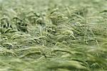 Full frame shot of green wheat field