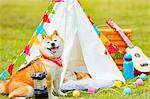 Shiba inu dog by tipi tent