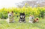 Shiba inu dogs in rapeseed field