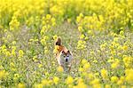 Shiba inu dog in rapeseed field