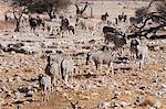 Burchell's zebra (Equus burchellii), Etosha National Park, Namibia