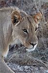 Close up of lion, panthera leo, in grassland.