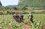 Cuba, Republic of Cuba, Central America, Caribbean Island. Havana district. Tobacco farm in Pinal dal Rio, cow, cows at work, man, man at work.