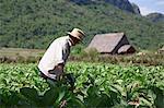 Cuba, Republic of Cuba, Central America, Caribbean Island. Havana district. Tobacco farm in Pinal dal Rio, man, man at work