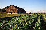 Cuba, Republic of Cuba, Central America, Caribbean Island. Havana district. Tobacco farm in Pinal dal Rio, man, man at work.