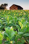 Cuba, Republic of Cuba, Central America, Caribbean Island. Havana district. Tobacco farm in Pinal dal Rio