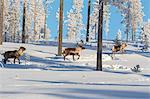 Reindeer among frozen trees in the snowy forest, Kiruna, Norrbotten County, Lapland, Sweden