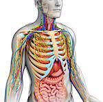 Illustration of male anatomy.