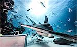Underwater view of scuba divers feeding great hammerhead shark and nurse shark, Bahamas