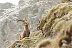 Lombardy, Italy. Ibex.
