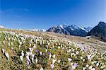 Crocus in bloom in meadows framed by snowy peaks Alpe Granda Sondrio province Masino Valley Valtellina Lombardy Italy Europe