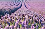 Europe, France,Provence Alpes Cote d'Azur,Plateau de Valensole.Lavender Rows
