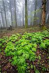 Sassofratino Reserve, Foreste Casentinesi National Park, Badia Prataglia, Tuscany, Italy, Europe. Green wet leaves in the wood.