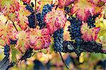 Europe,Italy,Umbria,Perugia district,Montefalco. Grapes vine in autumn