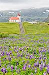 Blooming of wild lupins at Hellissandur,Snaefellsness peninsula, Iceland