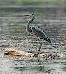 Grey heron ardea cinera stood on floating wooden log in rural river scene