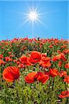 Starburst of sun over a poppy field in summer, Germany