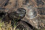 Wild Galapagos giant tortoise (Geochelone elephantopus), in Urbina Bay, Isabela Island, Galapagos, UNESCO World Heritage Site, Ecuador, South America