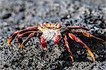 Adult Sally lightfoot crab (Grapsus grapsus), preparing to molt on Fernandina Island, Galapagos, UNESCO World Heritage Site, Ecuador, South America