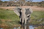 African Elephant (Loxodonta africana), male mud bathing, Ngorongoro Conservation Area, Tanzania, East Africa, Africa