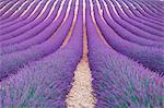 Europe, France,Provence Alpes Cote d'Azur,Plateau of Valensole. Lavender Field