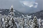 Pines covered in snow. Passo delle Erbe, Bolzano, Trentino Alto Adige - Sudtirol, Italy, Europe.