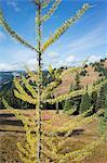 Larch in autumn, Pacific Crest Trail, Psayaten Wilderness, North Cascades, Washington.