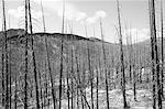 Fire damaged forest from extensive wildfire, near Harts Pass, Pasayten Wilderness, Washington.