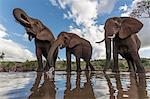Elephants (Loxodonta africana) drinking, Zimanga Private Game Reserve, KwaZulu-Natal, South Africa, Africa