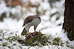 Northern Goshawk, (Accipiter gentilis), adult in winter in snow with prey, Zdarske Vrchy, Bohemian-Moravian Highlands, Czech Republic