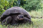 Wild Galapagos giant tortoise (Geochelone elephantopus), Santa Cruz Island, Galapagos, Ecuador, South America