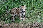 Young jaguar (Panthera onca) on riverbank, Cuiaba River, Pantanal, Mato Grosso State, Brazil, South America