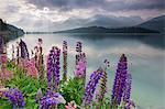 The multi coloured lupins frame the calm water of Lake Sils at dawn, Maloja, canton of Graubunden, Engadine, Switzerland, Europe