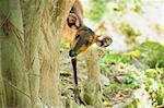 Common Duiker (Sylvicapra grimmia), Uganda, Africa