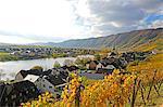 Vineyards near Piesport, Moselle Valley, Rhineland-Palatinate, Germany, Europe