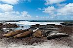 Southern elephant seals (Mirounga leonina) resting on a beach, Falkland Islands, South America